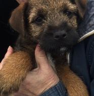 brodie-pup