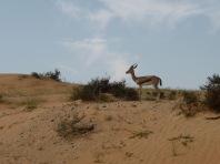 desert-deer
