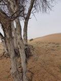 desert-trees