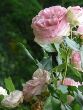 french-rose