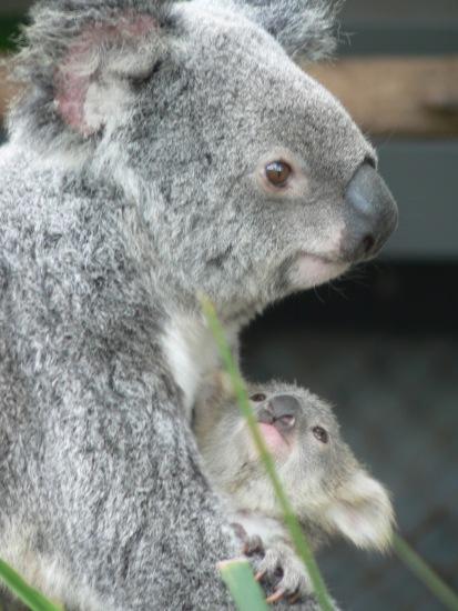 koala-and-joey