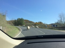 sheep-on-th-eroad