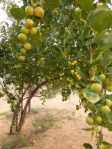 tree-with-fruit-desert