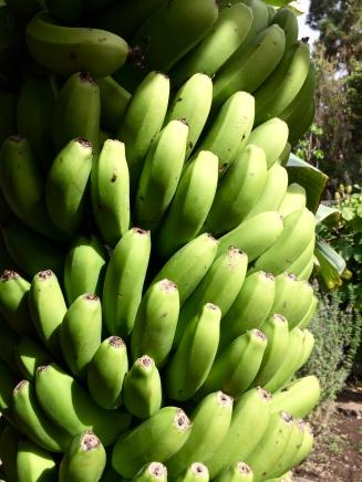 icod bananas
