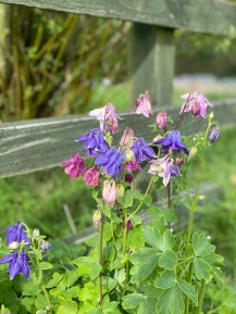 today aquilegia
